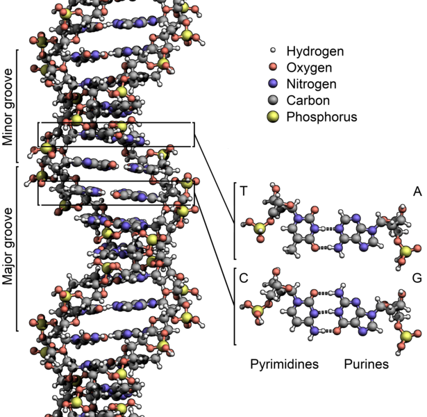 615px-DNA_Structure+Key+Labelled.pn_NoBB