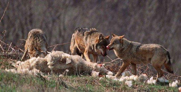Wolves-Eating-Sheep